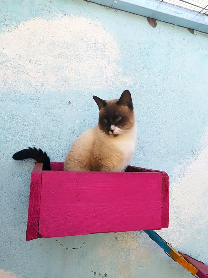CAPUCCINO, chat mâle typé siamois de 7 ans 21760410