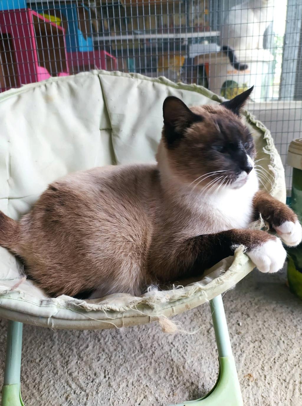 CAPUCCINO, chat mâle typé siamois de 7 ans 22170610