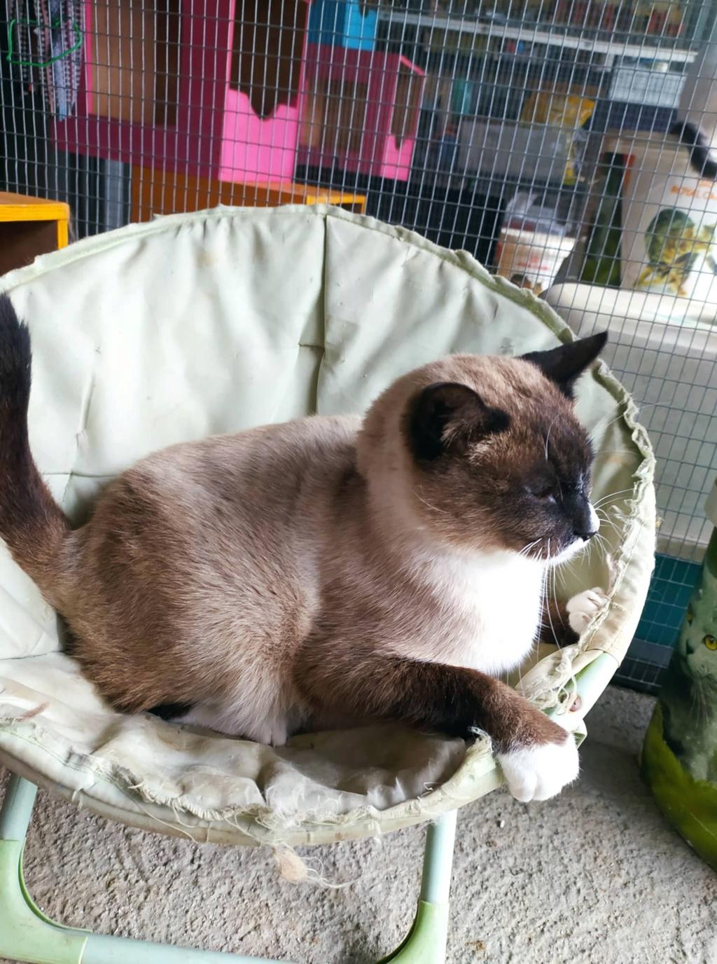 CAPUCCINO, chat mâle typé siamois de 7 ans 22272010