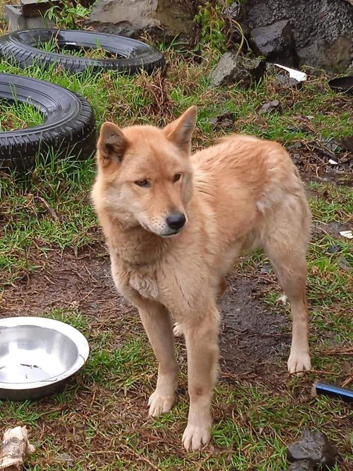MANOOSH, chienne marron aux poils mi-longs de 6 ans environ pour 18 Kg - Marrainée par Pat84 23307410