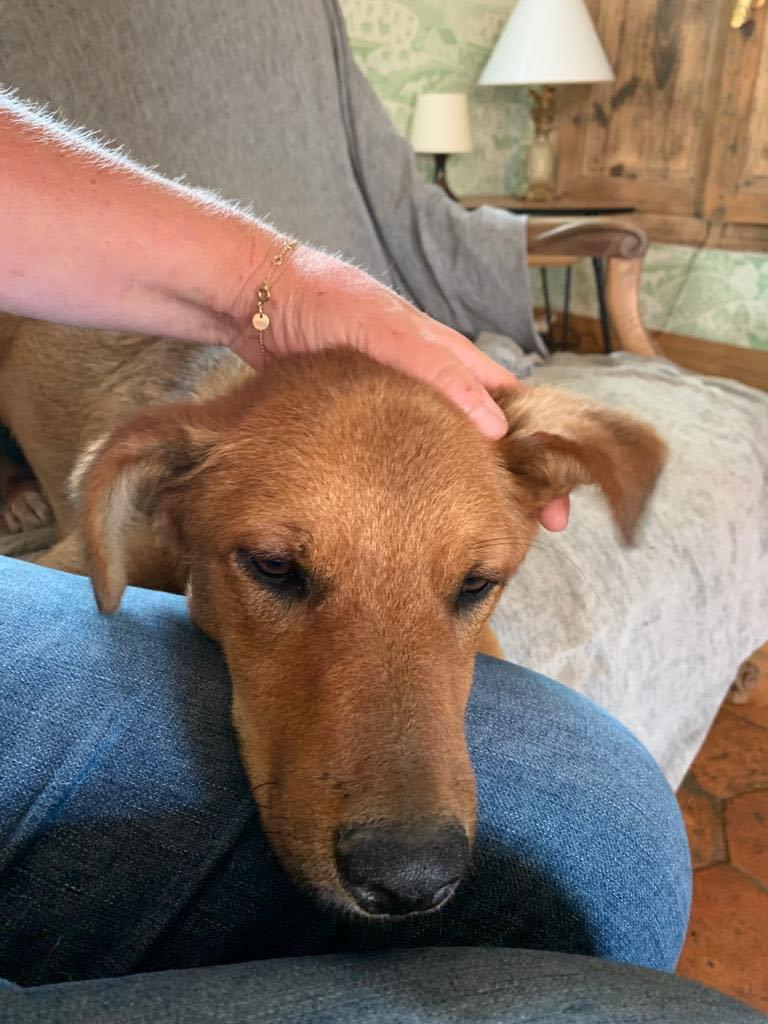 MAHOT, jeune chien fauve de 1 an environ - Marrainé par Coralie - Réservé par Marion et sa famille 23435510