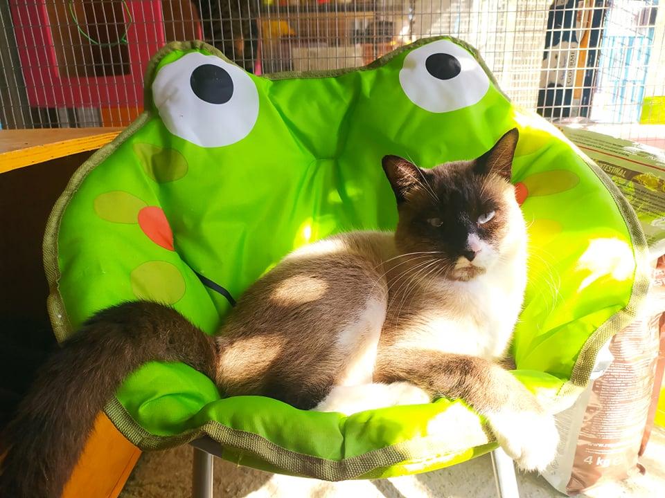 CAPUCCINO, chat mâle typé siamois de 7 ans 23505810