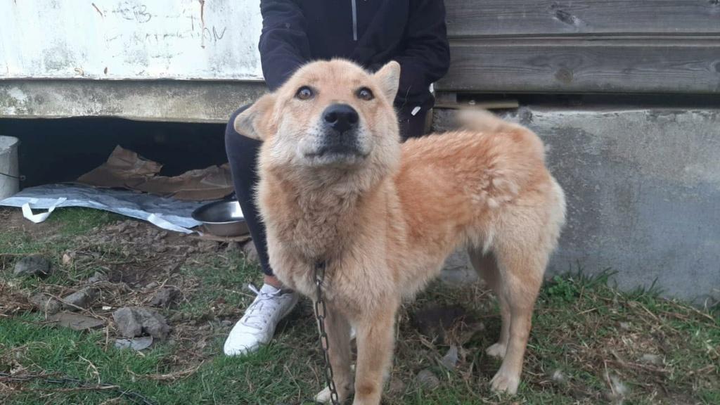 MANOOSH, chienne marron aux poils mi-longs de 6 ans environ pour 18 Kg - Marrainée par Pat84 23519510