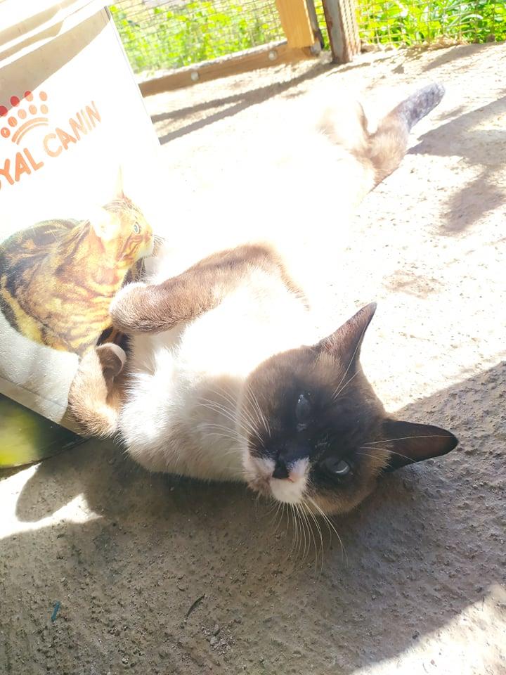 CAPUCCINO, chat mâle typé siamois de 7 ans 23523510