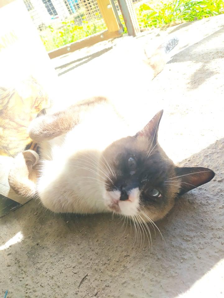 CAPUCCINO, chat mâle typé siamois de 7 ans 23531510