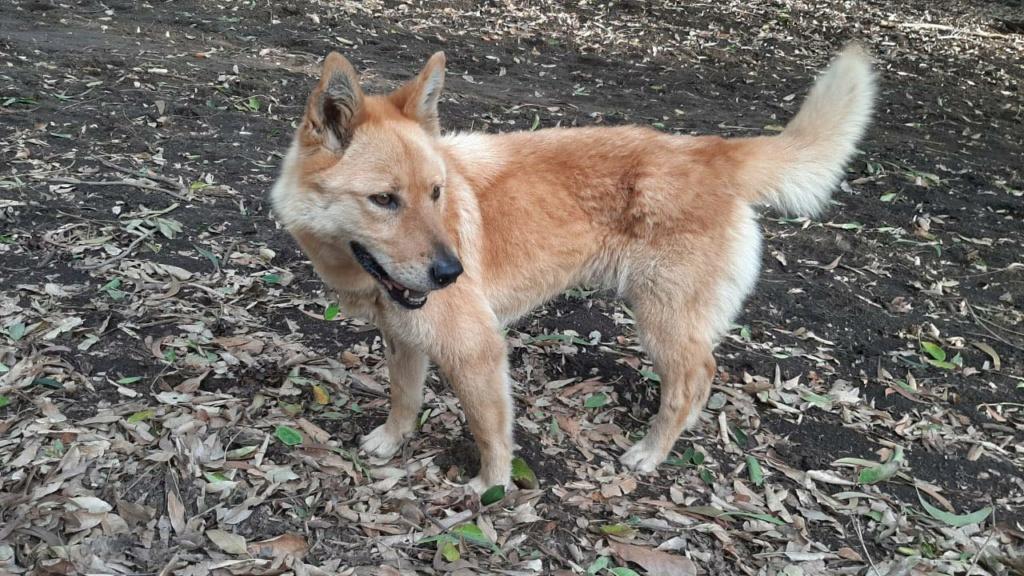 MANOOSH, chienne marron aux poils mi-longs de 6 ans environ pour 18 Kg - Marrainée par Pat84 23717710