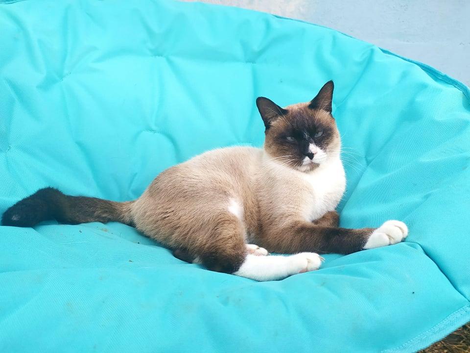 CAPUCCINO, chat mâle typé siamois de 7 ans 23770110