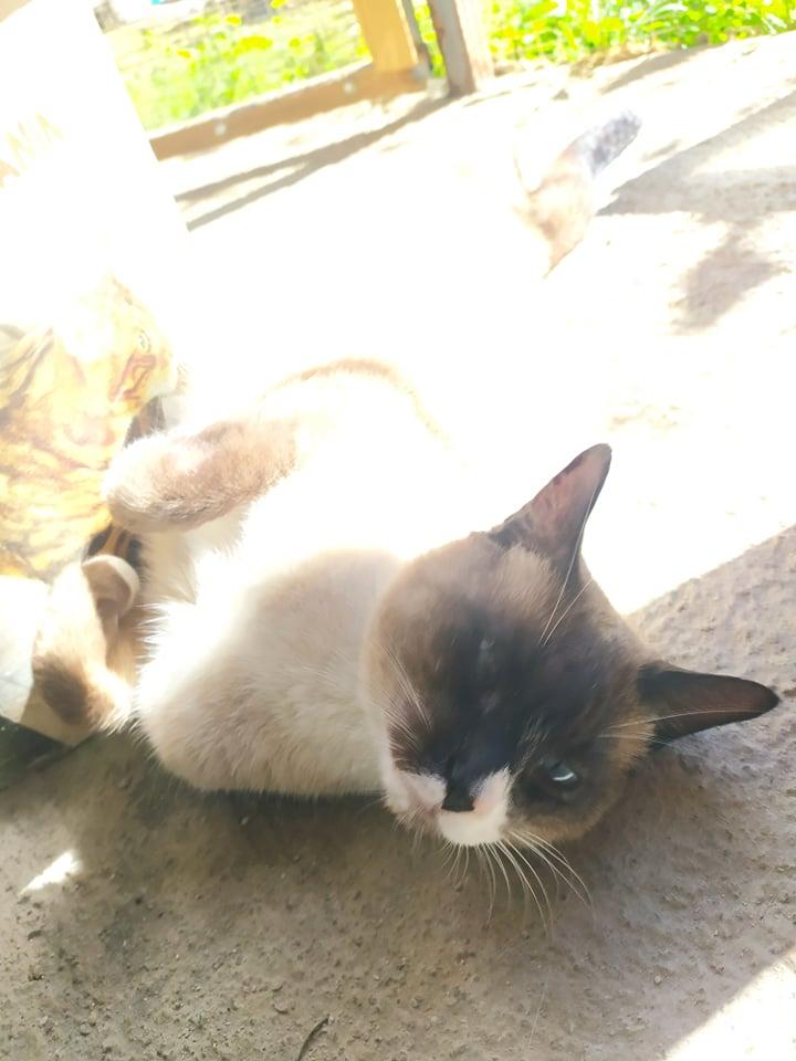 CAPUCCINO, chat mâle typé siamois de 7 ans 23780110