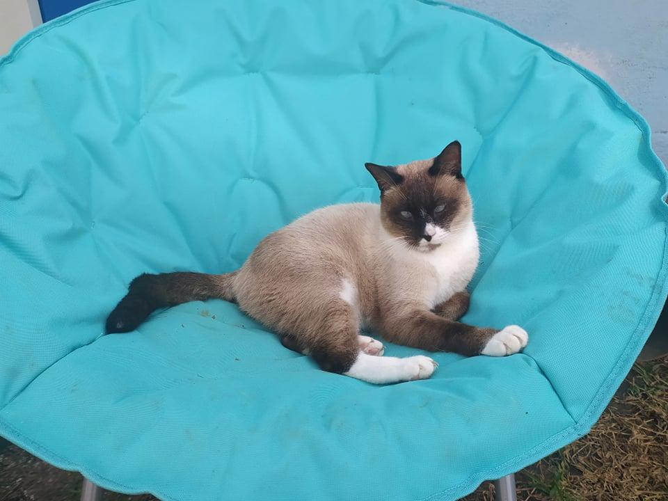 CAPUCCINO, chat mâle typé siamois de 7 ans 23867610