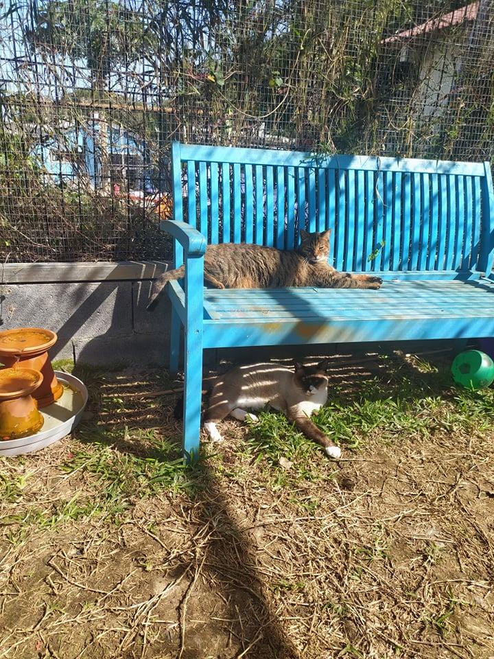 CAPUCCINO, chat mâle typé siamois de 7 ans 23877810