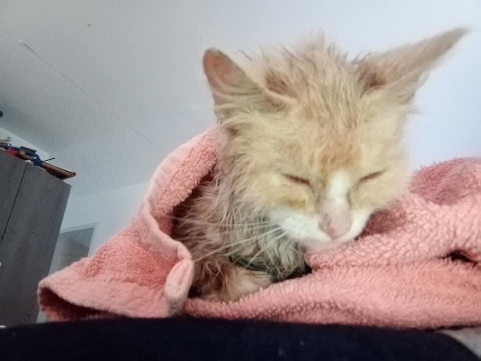 SATINE, chatonne femelle rousse et blanche de 4 mois environ - Réservée à Christa 23907910