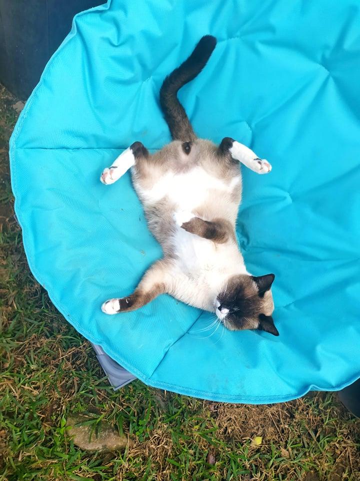 CAPUCCINO, chat mâle typé siamois de 7 ans 23926210