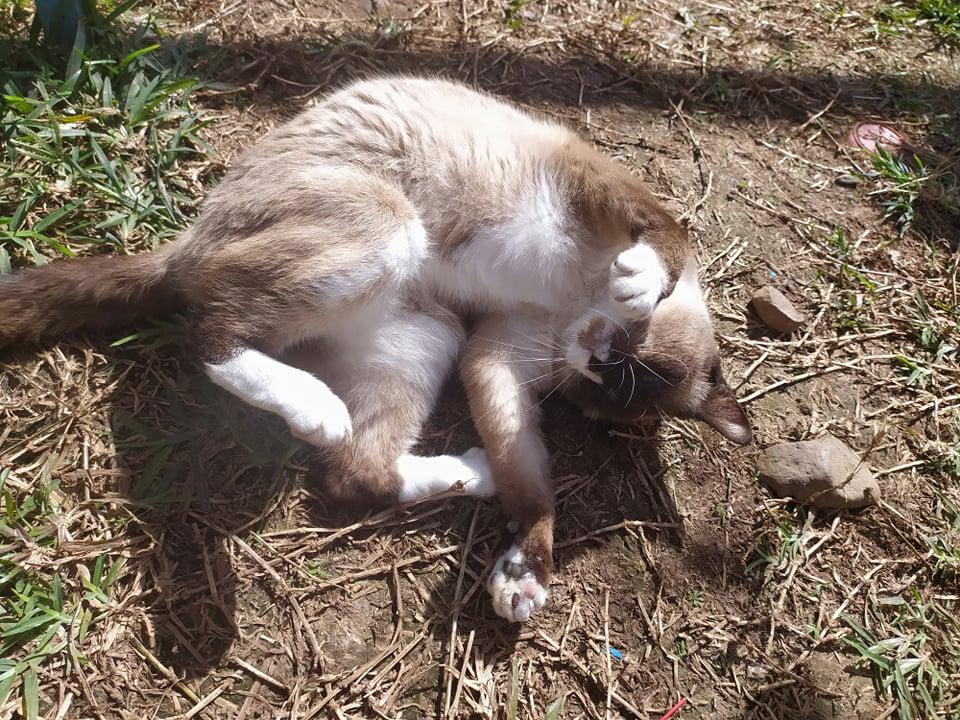 CAPUCCINO, chat mâle typé siamois de 7 ans 23932611