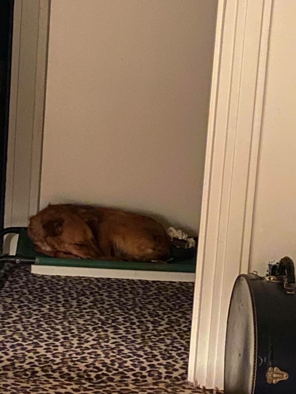 MAHOT, jeune chien fauve de 1 an environ - Marrainé par Coralie - Réservé par Marion et sa famille 24036010