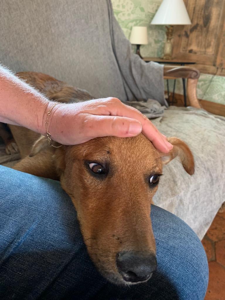 MAHOT, jeune chien fauve de 1 an environ - Marrainé par Coralie - Réservé par Marion et sa famille 24049210