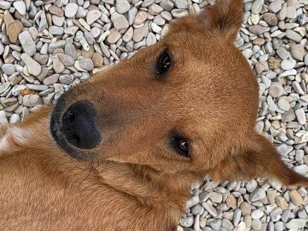 MAHOT, jeune chien fauve de 1 an environ - Marrainé par Coralie - Réservé par Marion et sa famille 24051310