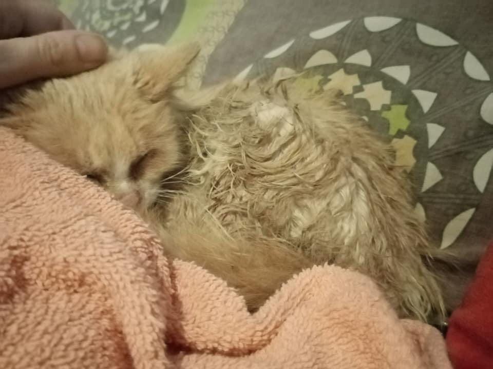 SATINE, chatonne femelle rousse et blanche de 4 mois environ - Réservée à Christa 24087610