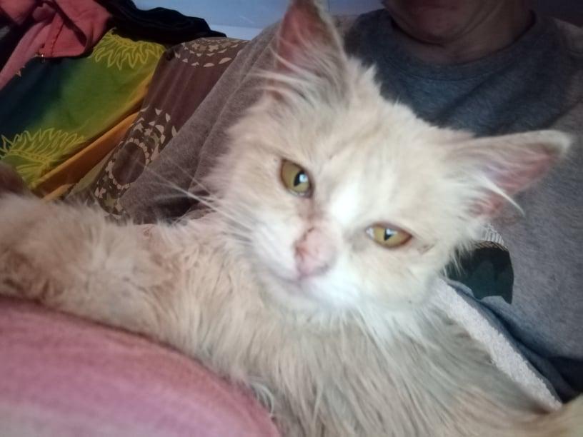 SATINE, chatonne femelle rousse et blanche de 4 mois environ - Réservée à Christa 24110510