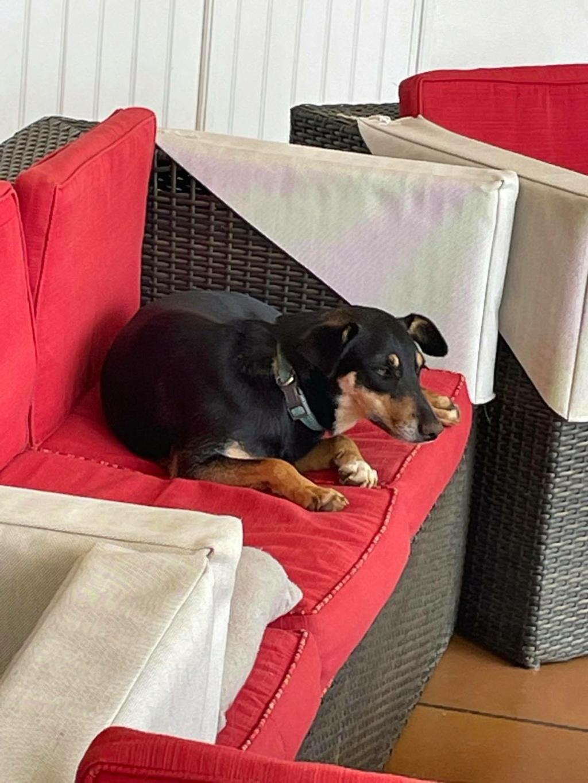 MIRABELLE, jeune chienne noire et feu de 1 an environ (née le 01/09/2020) et 12 kg  24125210