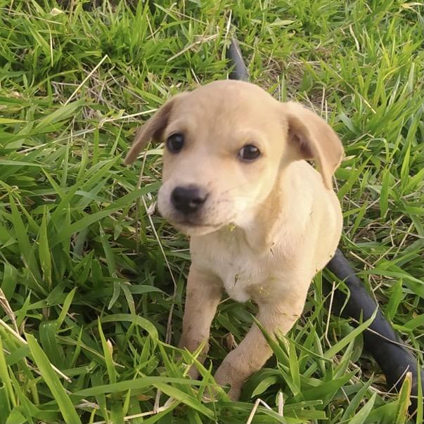 OZZY, chiot mâle beige de 2 mois à peine 24166610