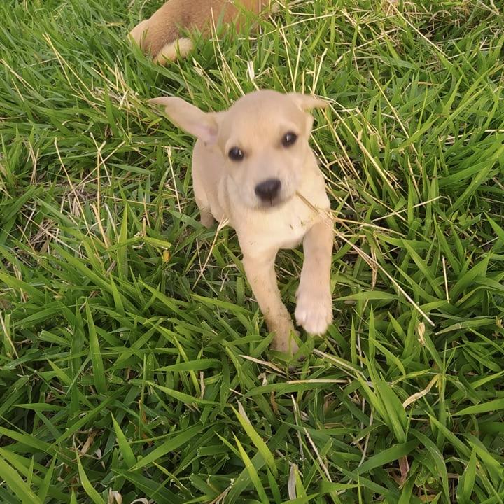OZZY, chiot mâle beige de 2 mois à peine 24169110