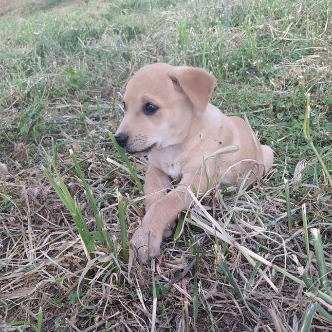 OZZY, chiot mâle beige de 2 mois à peine 24169210