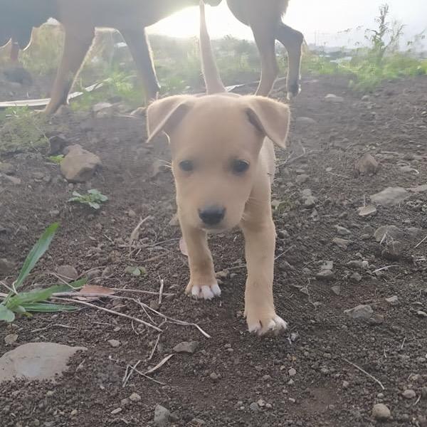 OGGY, chiot mâle beige et blanc de 2 mois à peine 24171110