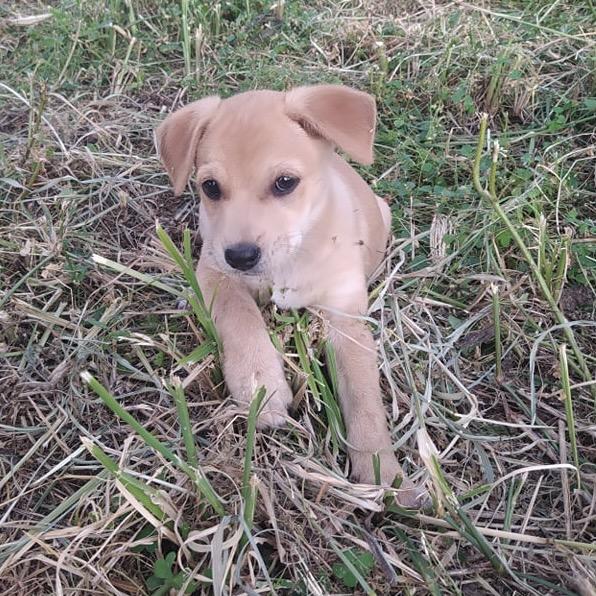OZZY, chiot mâle beige de 2 mois à peine 24171510