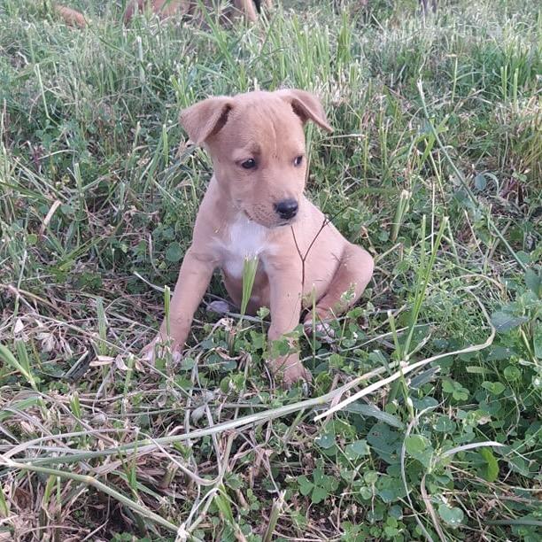 OGGY, chiot mâle beige et blanc de 2 mois à peine 24173610