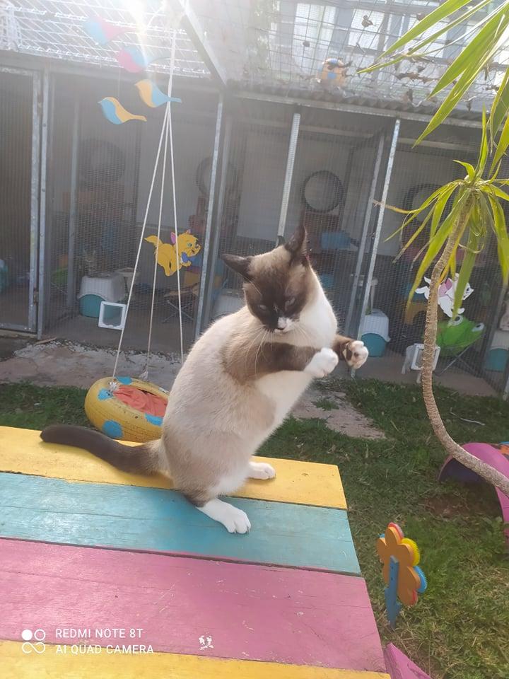 CAPUCCINO, chat mâle typé siamois de 7 ans 24226911
