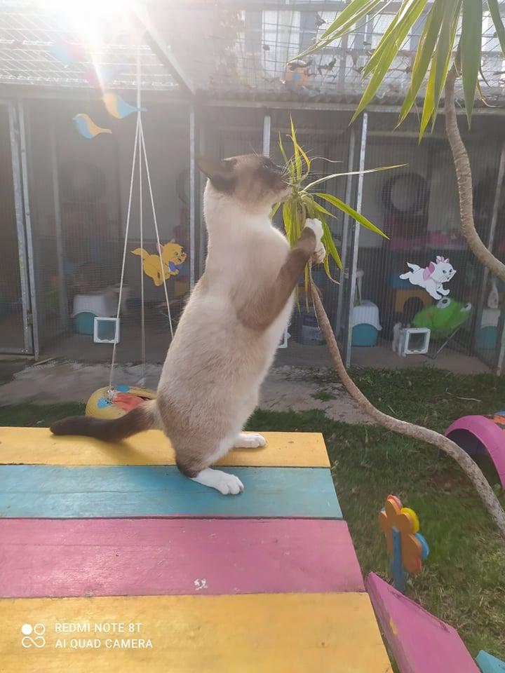 CAPUCCINO, chat mâle typé siamois de 7 ans 24230410