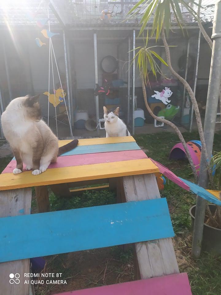 CAPUCCINO, chat mâle typé siamois de 7 ans 24231510