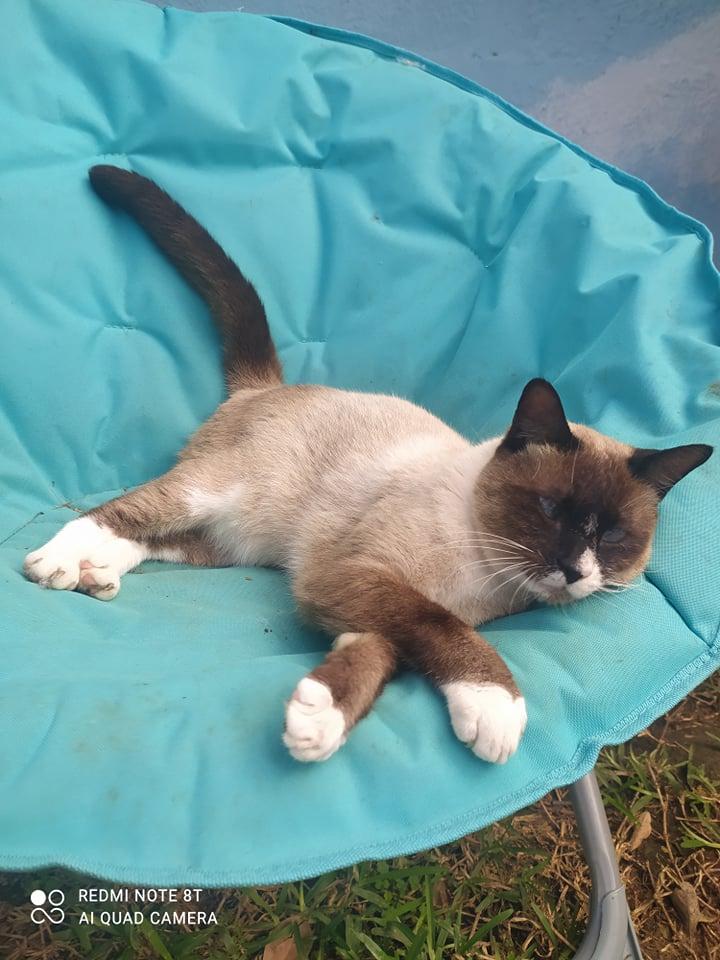 CAPUCCINO, chat mâle typé siamois de 7 ans 24239110