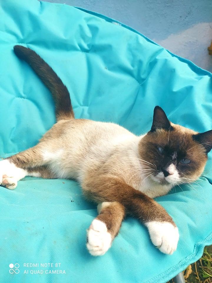 CAPUCCINO, chat mâle typé siamois de 7 ans 24240810