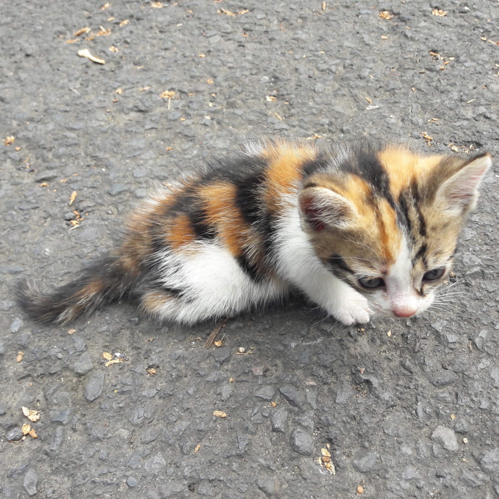 LOTUS, petite chatte tricolore d'à peine 2 mois - réservée par sa famille d'accueil  3l310