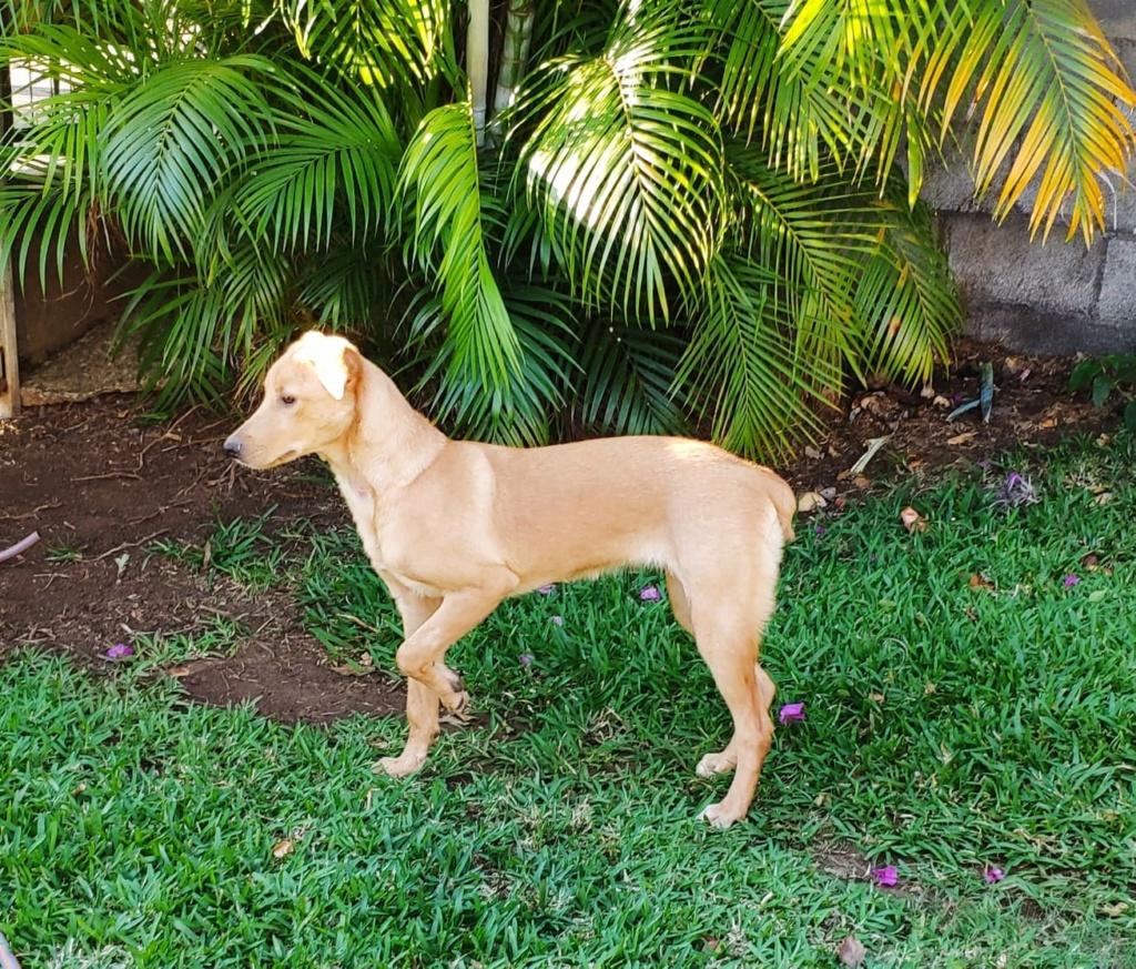 ELAH, jeune chienne typée labrador beige d'environ 18 mois, 17,5 kg - réservée par Fanny & Sylvain 67485010