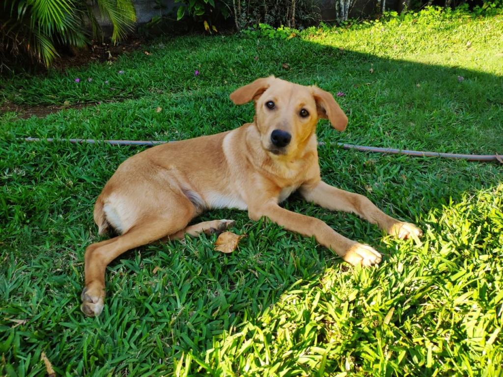 ELAH, jeune chienne typée labrador beige d'environ 18 mois, 17,5 kg - réservée par Fanny & Sylvain 67641910