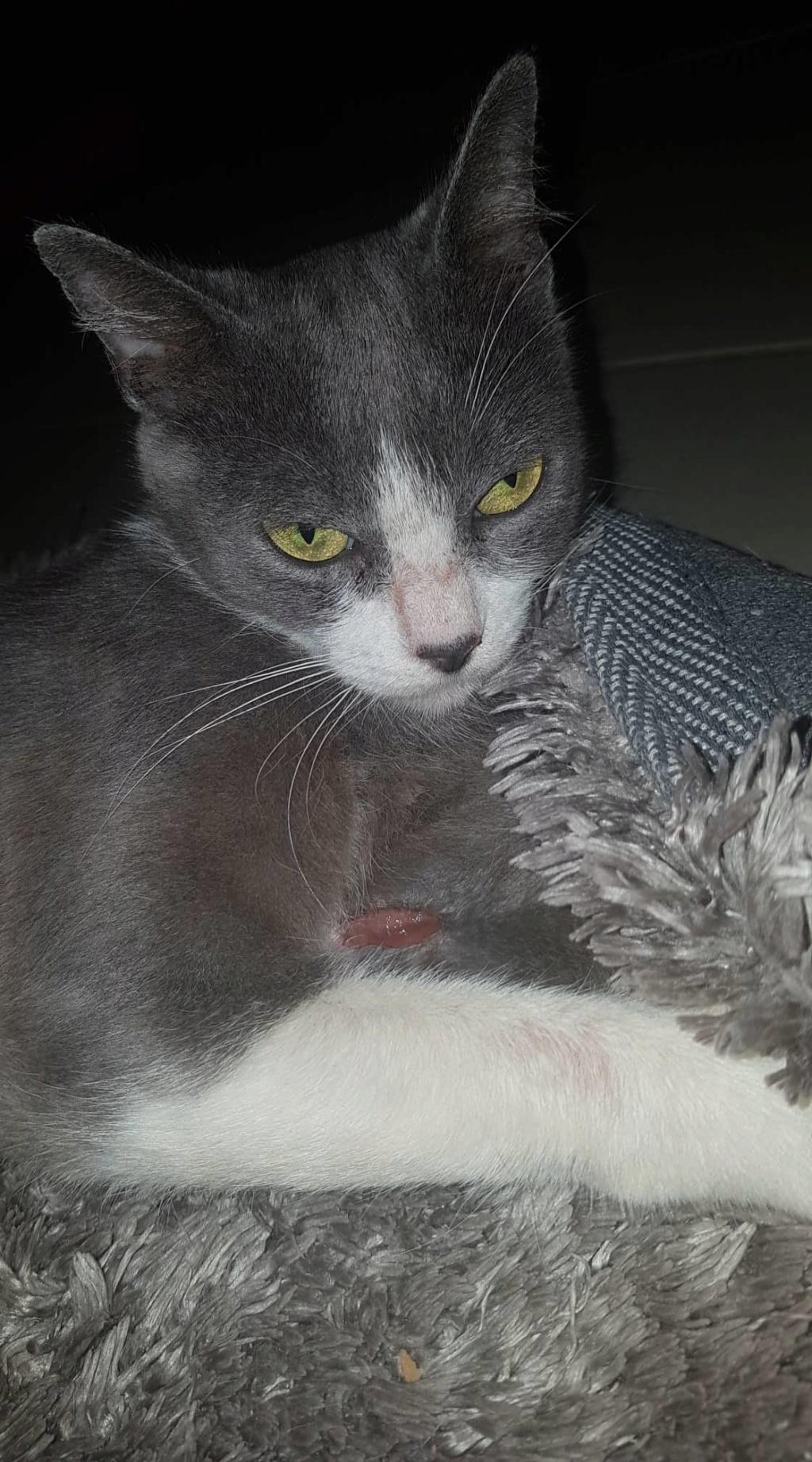 HILMA, jeune chatte femelle blanche et grise - réservée par Laure  80374710