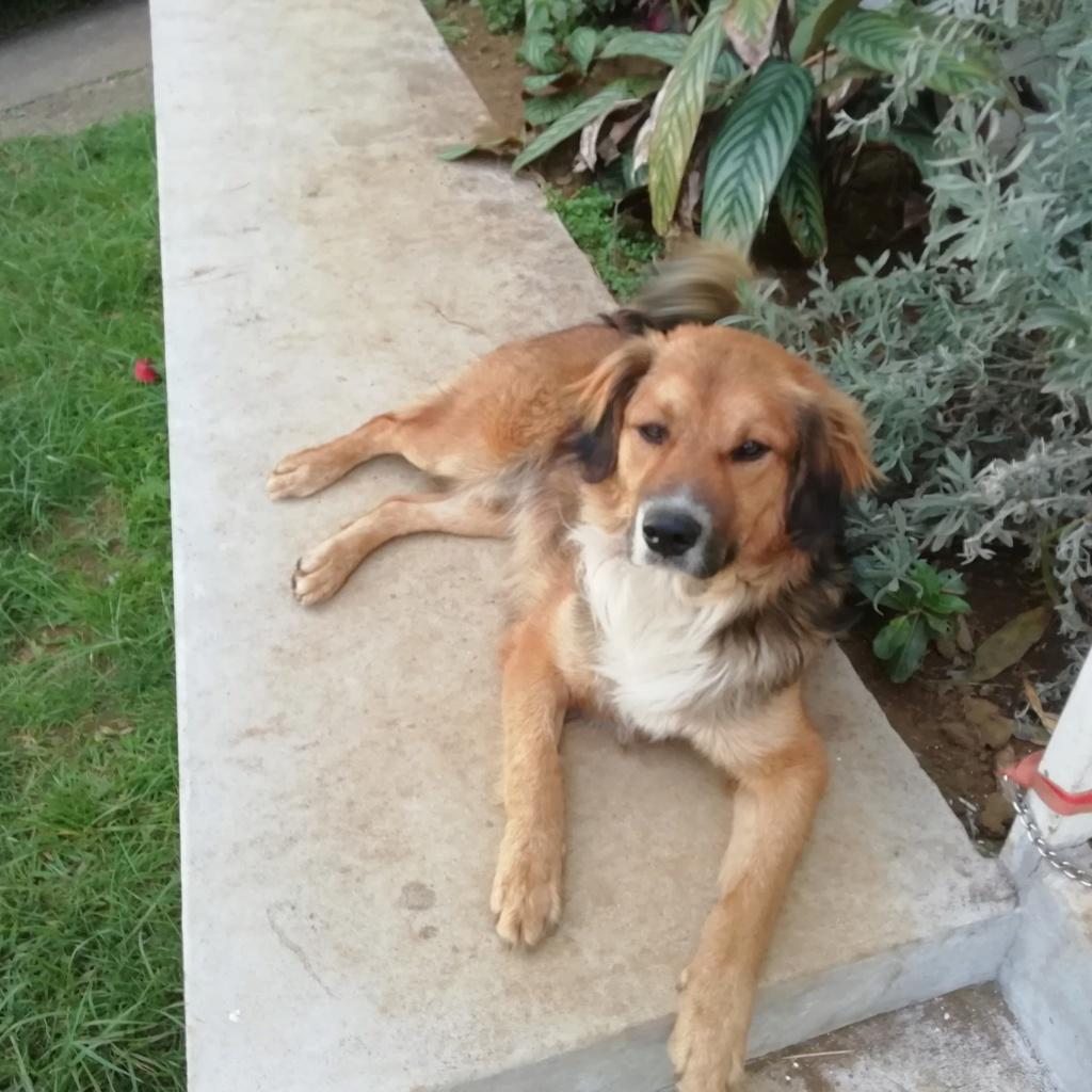PUNCHY - chien mâle de 1 an - marrainé par Patricia - en observation chez Alpha Dog's House 80487810