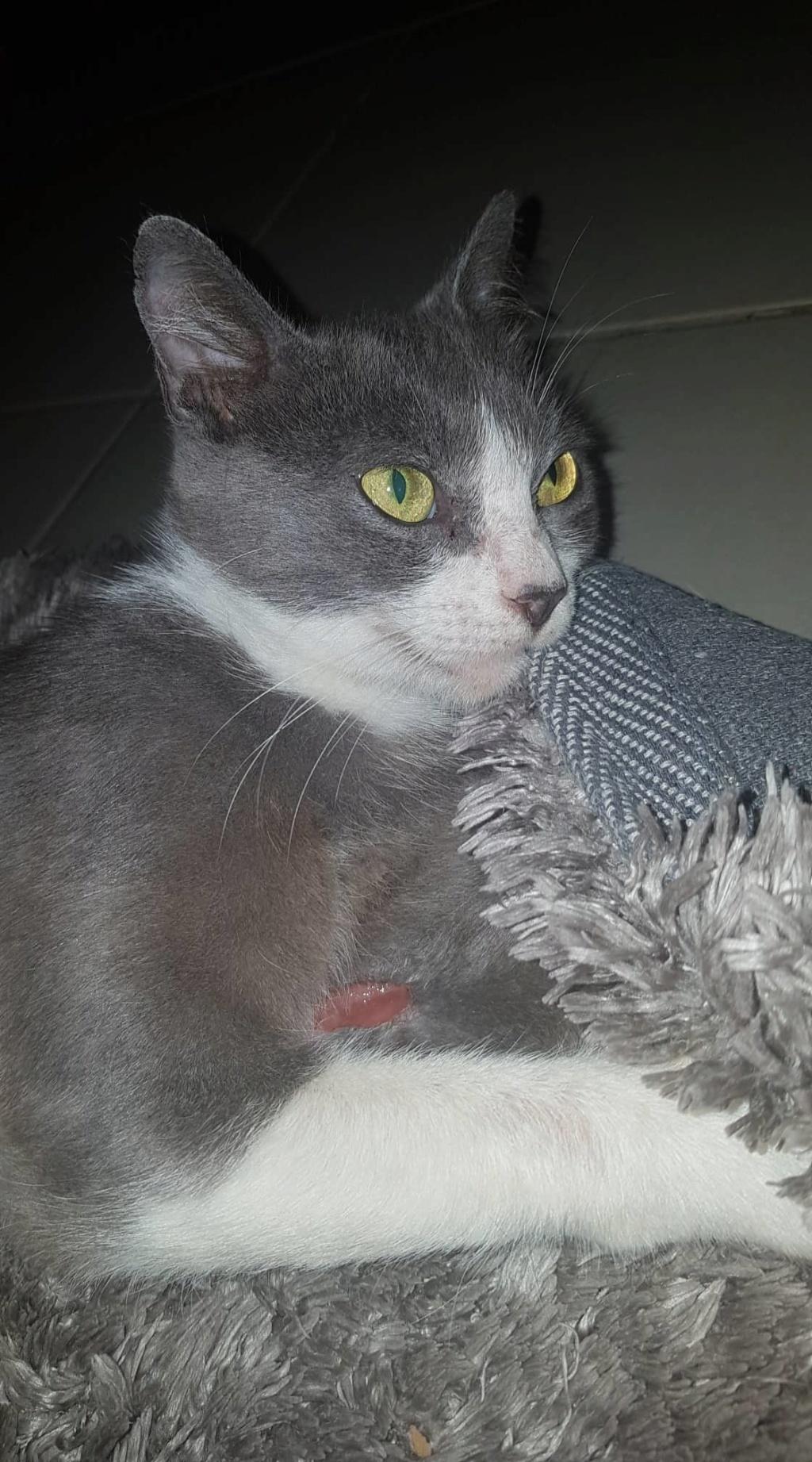 HILMA, jeune chatte femelle blanche et grise - réservée par Laure  80631710