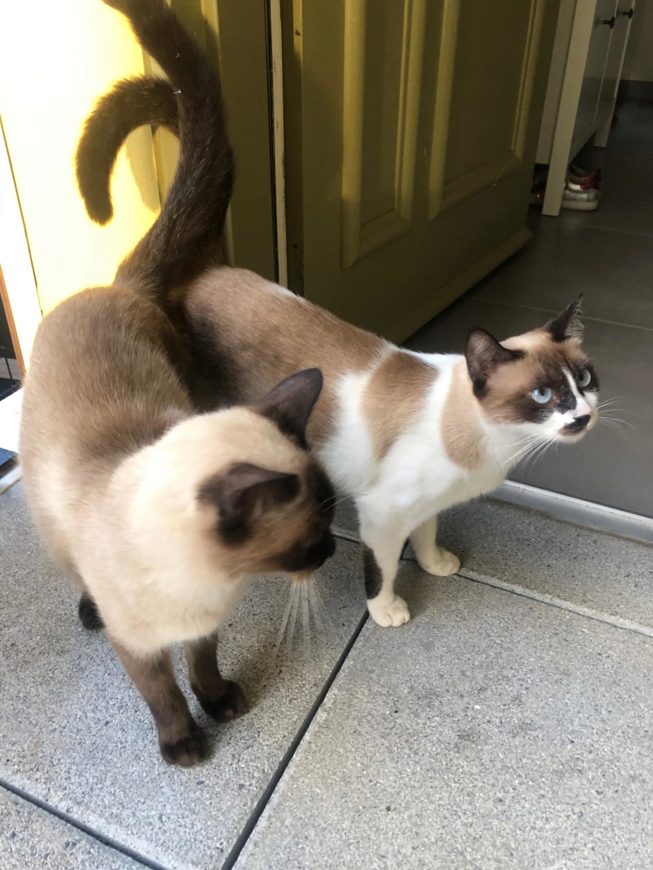 SOS pour deux chats frère et soeur typés siamois 86190810