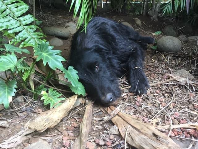 CHOCO, adorable chienne de 1,5 ans - 28 kg - marrainée par Harfeng  87834310