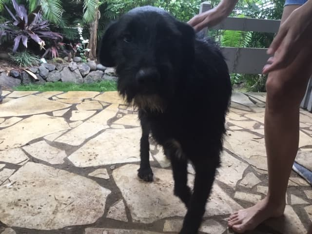 CHOCO, adorable chienne de 1,5 ans - 28 kg - marrainée par Harfeng  87891110