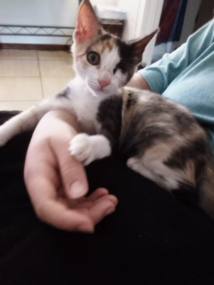 AMBRE, chatonne tricolore borgne de 3 mois - réservée par Natalia et sa famille 90459810