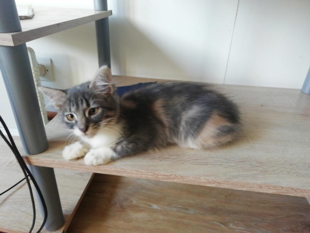 AYA, chatonne femelle tigrée de 2,5 mois - marrainée par Maudl 90631910