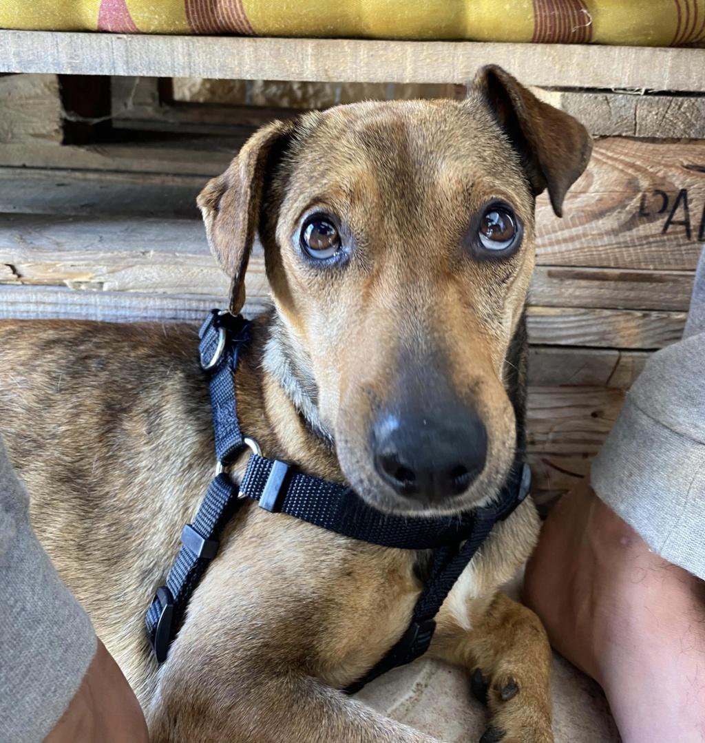 MAHY, jeune chien fauve charbonné de 1,5 an - 9,3Kg - Actuellement en soins - Marrainée par Muriel  9ac7a510