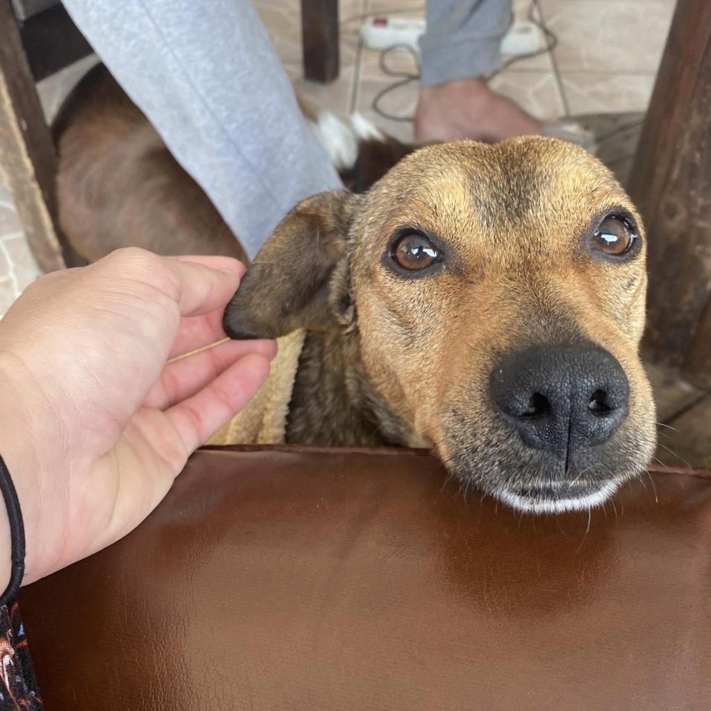 MAHY, jeune chien fauve charbonné de 1,5 an - 9,3Kg - Actuellement en soins - Marrainée par Muriel  Aad74410