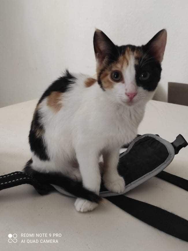 AMM, chaton femelle tricolore de 3,5 mois environ Amm10