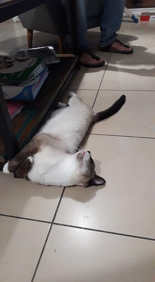 CAPUCCINO, chat mâle typé siamois de 7 ans B0af8e10