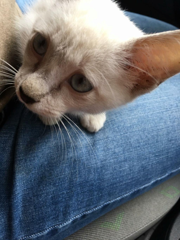 BADOU, chaton mâle seal point de 6 semaines environ - Réservé par Nathalie et sa famille Badou10